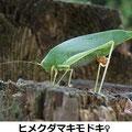 ヒメクダマキモドキ♀ 11/15 Km
