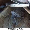 クサギカメムシ 成虫越冬 2/10 km