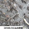 コウガイビルの仲間 3/1 頭部は半月形 髪飾りの笄(こうがい)に似る