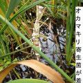 Bouberia vassiana(白彊病菌)=昆虫寄生菌の一種に罹病して死亡したオオカマキリ 11/13 Kk