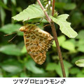 ツマグロヒョウモン♂ 9/7