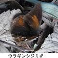ウラギンシジミ♂ 1/21 越冬個体、この大寒で複数の個体が落蝶(死体)