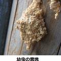 幼虫の糞塊 1/13 枯木に中で越冬する幼虫が出した 木屑や糞を糸で綴った糞塊