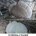 コフキサルノコシカケ 1/26 裏面(下)は真白 半径20cmの扇