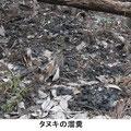 タヌキの溜糞 3/3 1.5mX3mと広い
