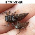 オニヤンマ幼虫 3/16 Km