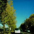 イチョウ街路樹
