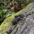 写真5 アライグマの糞