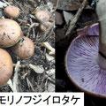 モリノフジイロタケ 9/29 笠に紫色が残る