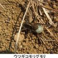 ウツギコモリグモ♀ 3/19 卵嚢をつける