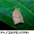 チャノコカクモンハマキ♀ 8/19