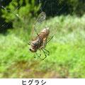 ヒグラシ 9/9 ジョロウグモに捕食される