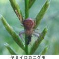 ヤミイロカニグモ♀ 5/22 蟻を捕る