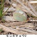 モンキチョウ♀ 3/25 Kk