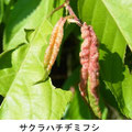 サクラハチヂミフシ(虫こぶ)   6/17   Km   サクラコブアブラムシが寄生