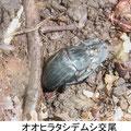 オオヒラタシデムシ交尾 7/15
