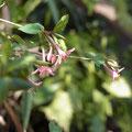 ウグイスカグラの花 (A)