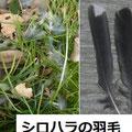 シロハラの羽毛 2/17 猛禽類に食われた
