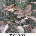 ヤマコウバシ 1/21 冬でも枯葉は落葉せず