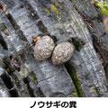ノウサギ糞 12/2 植樹会会場の杉の切り株の上