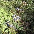 ヤブミョウガ 初夏に白い花を付けていた