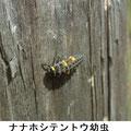 ナナホシテントウ幼虫 3/17