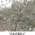 ソメイヨシノ開花 3/25 東京より4日遅れ