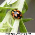 ヒメカメノコテントウ 5/26