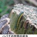 ハバチの仲間の幼虫 5/20 オオシロオビクロハバチ?