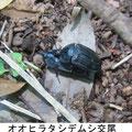 オオヒラタシデムシ交尾 5/27