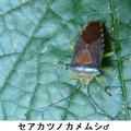 セアカツノカメムシ♂  8/12  Km