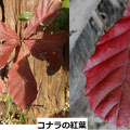 コナラの紅葉 1/4 通常は橙黄色になるが、日当たりのよい幼樹では赤紫色になることがある。2017/1、同じ樹が紅葉している
