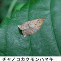 チャノコカクモンハマキ♂    8/12  Km
