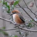 写真4 モズ♂の若鳥 撮影Kk