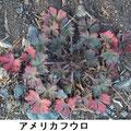 アメリカフウロ 1/22 外来種 やせ地では赤みが強い
