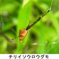チリイソウロウグモ 7/9 ササグモの巣に居候
