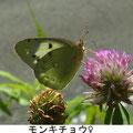 モンキチョウ♀ 5/27 Km
