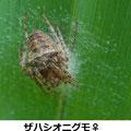ザハシオニグモ♀ 6/22 卵嚢を守る