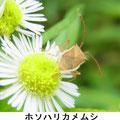 ホソハリカメムシ 9/15