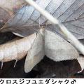 クロスジフユエダシャク♂ 12/6 陽の当たる林床で群れる