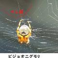 ビジョオニグモ♀ 9/1 円網の一部にキレ網がある