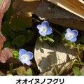 オオイヌノフグリ 2/24