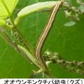 オオウンモンクチバ幼虫 (クズ) 9/24 Km