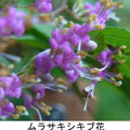 ムラサキシキブ花 6/15