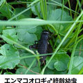 エンマコオロギ♂終齢幼虫 9/5