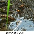 オオスズメバチ 5/20 水を飲む