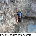 モリチャバネゴキブリ幼虫 1/25   越冬個体