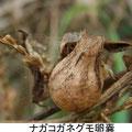 ナガコガネグモ卵嚢 12/7 Km