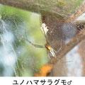 ユノハマサラグモ♂ 4/15 Km  網の下側にいる