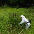 写真3 チカラシバ刈り取り